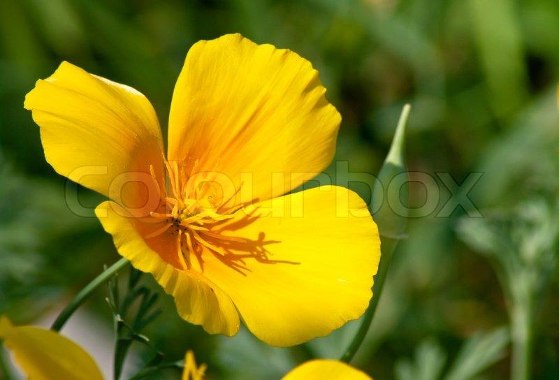 Yellow poppy stalk flower stock photo colourbox stock image of yellow poppy stalk flower mightylinksfo Choice Image