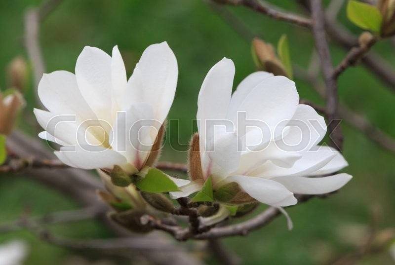 Close up of white magnolia tree blossom stock photo colourbox mightylinksfo