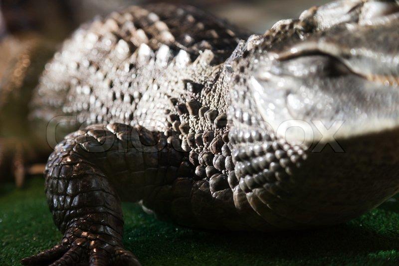 Wildlife animal reptile wild crocodile mouth teeth, stock photo