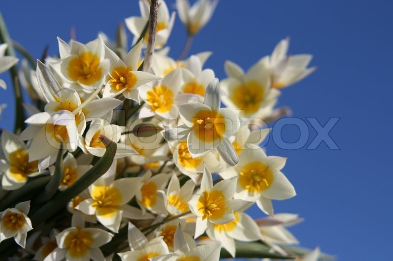 Stock image of 'Wild yellow tulips flower'