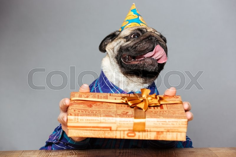 happy pug dog with man hands in checkered shirt and birthday hat