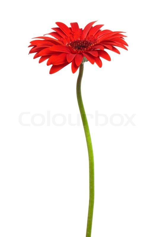 red flower white background - photo #13