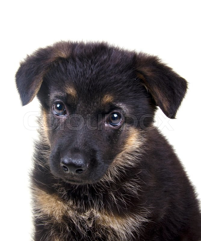 Portrait Of A Cute One Month Old German Shepherd Puppy Isolated On