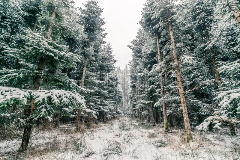 pine trees covered with snow in a scandinavian forest white pine tree graphic pine tree vector graphic