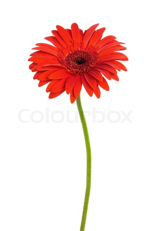 Beautiful red flower on a white background stock photo colourbox mightylinksfo
