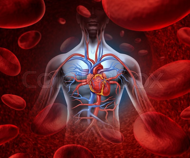 Human Heart Circulation Cardiovascular System With Anatomy From A