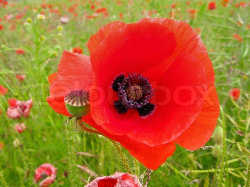 red flower of a corn poppy papaver rhoeas stock photo colourbox