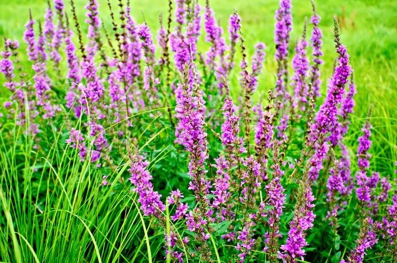 Long spike inflorescence pink wildflowers lythrum salicaria on a long spike inflorescence pink wildflowers lythrum salicaria on a background of green grass stock photo colourbox mightylinksfo