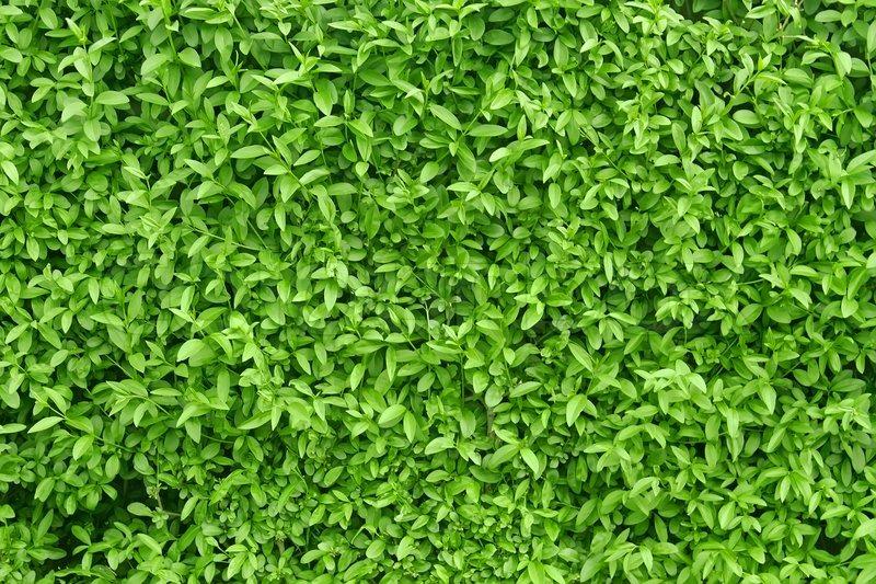 Parken Auf Grünfläche Ein Fragment Einem Lebenden Zaun Stockfoto Colourbox