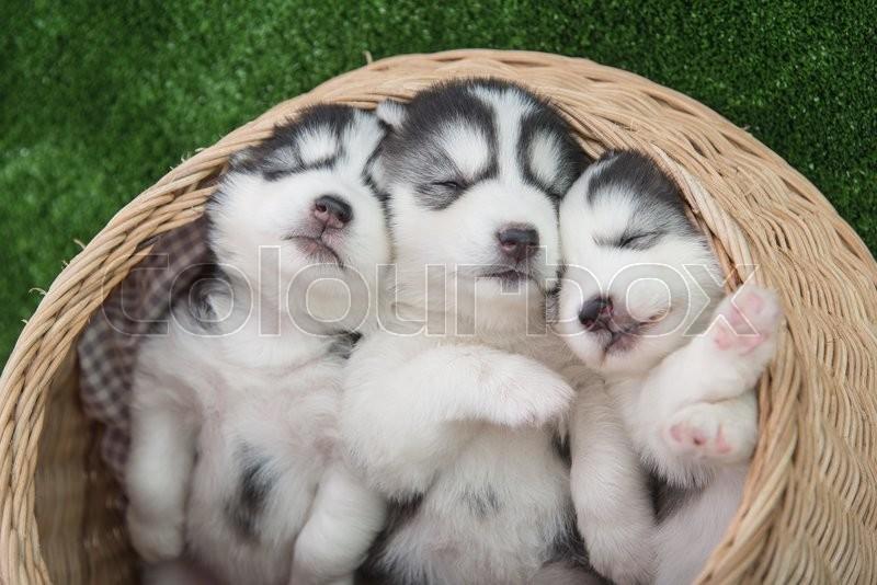 Cute Siberian Husky Puppies Sleeping In Basket Bed Stock