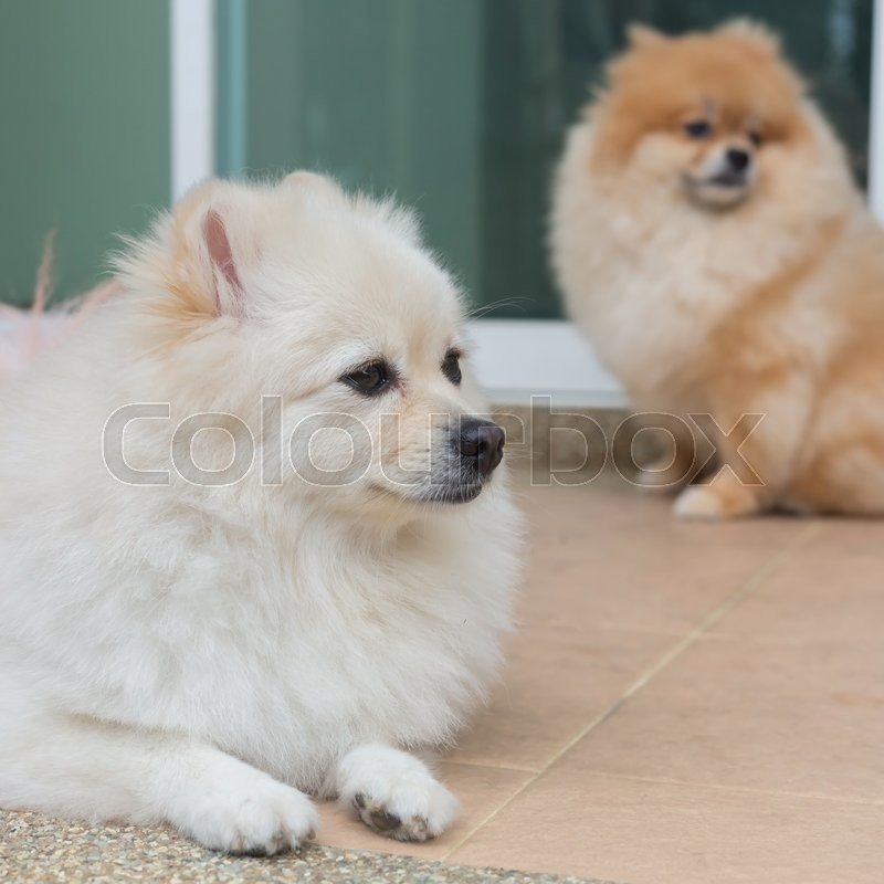 Pomeranian small dog cute pets friendly in home, stock photo