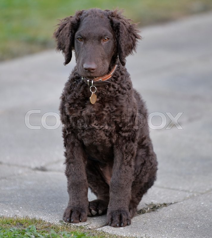 Stock foto af 'Curly coated retriever   hvalp'