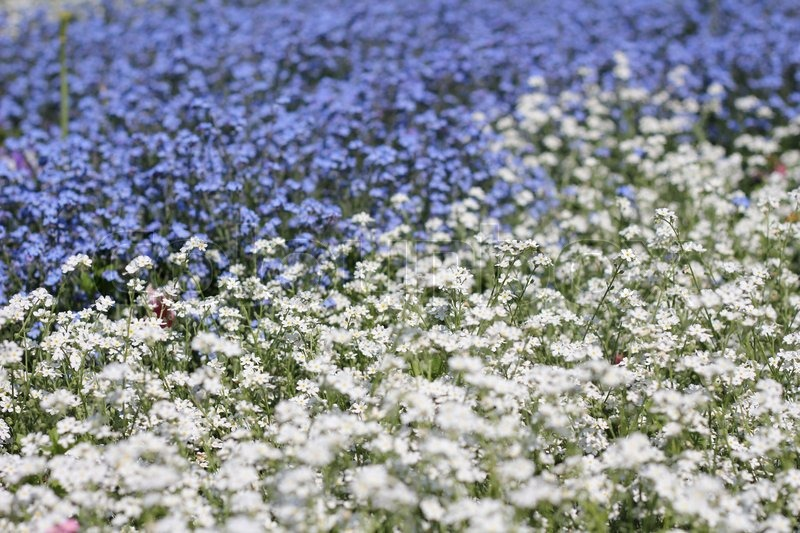 Blue and white flowers on the field stock photo colourbox mightylinksfo