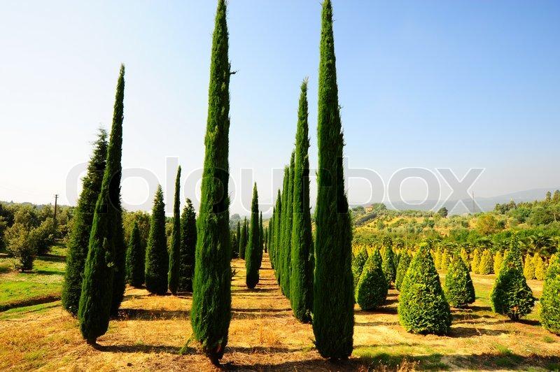 Cypress Trees In The Nursery Garden In Tuscany Italy Stock Photo Colourbox