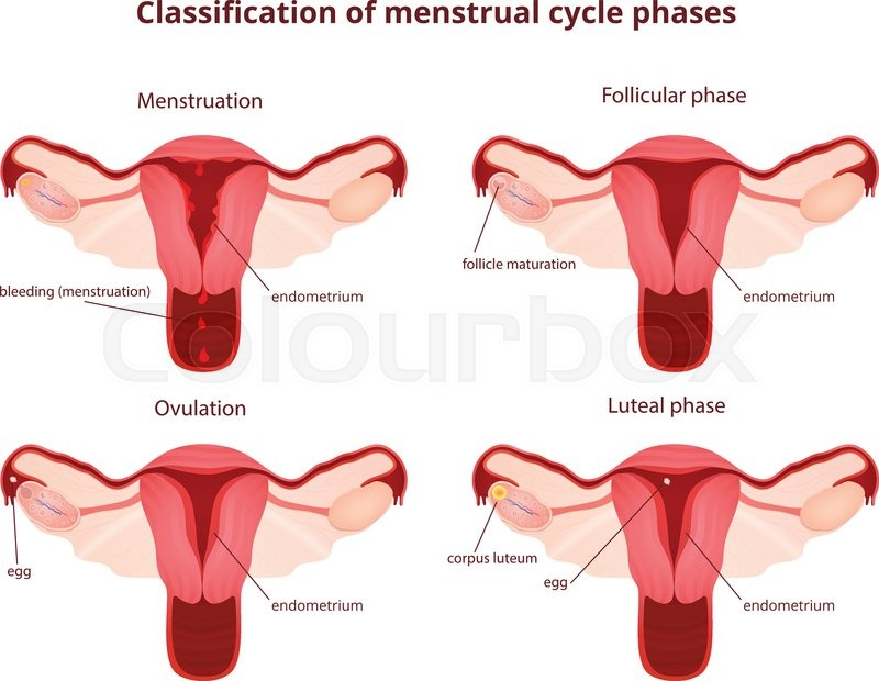 Female Reproductive System The Uterus And Ovaries Scheme The Phase