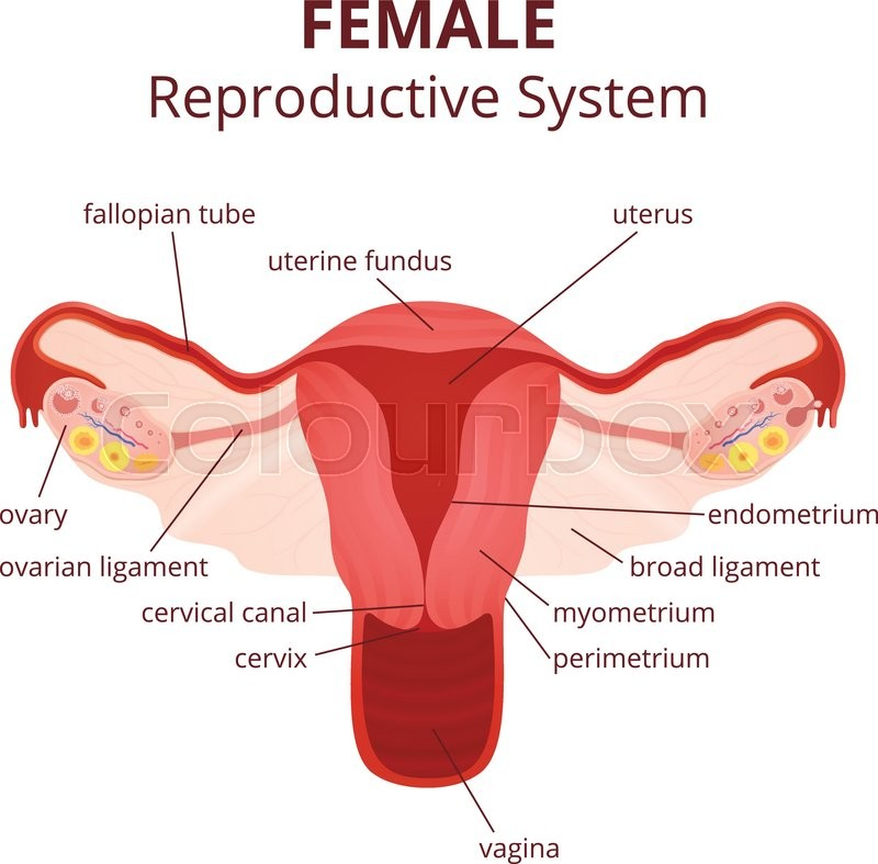 Female reproductive system, the uterus and ovaries scheme, the phase ...