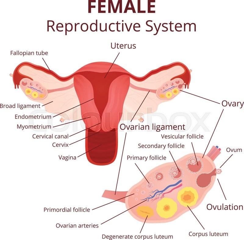 Female reproductive system  the uterus    Stock Vector