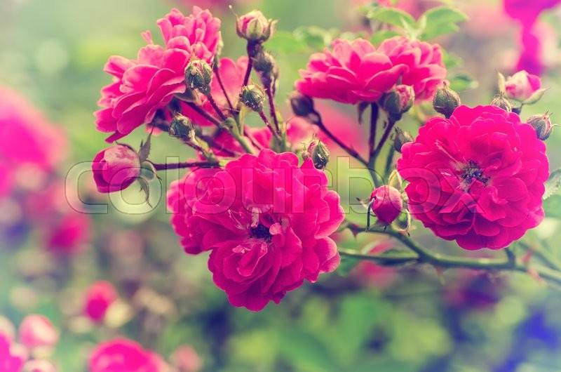 Garden With Fresh Red Roses Floral Natural Hipster Vintage Instagram Background