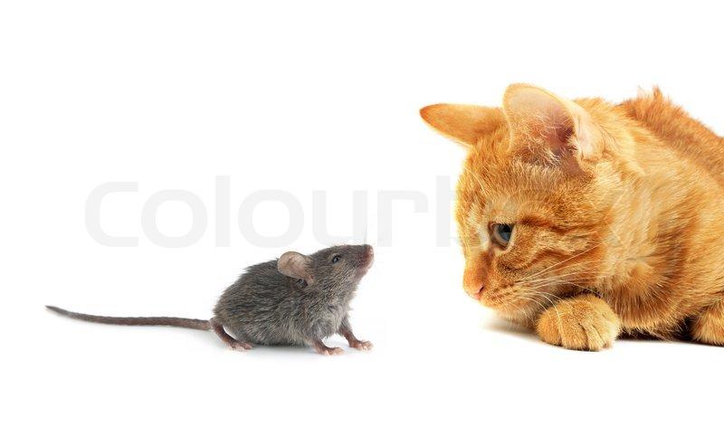 mus og kat isoleret p hvid baggrund stock foto colourbox. Black Bedroom Furniture Sets. Home Design Ideas
