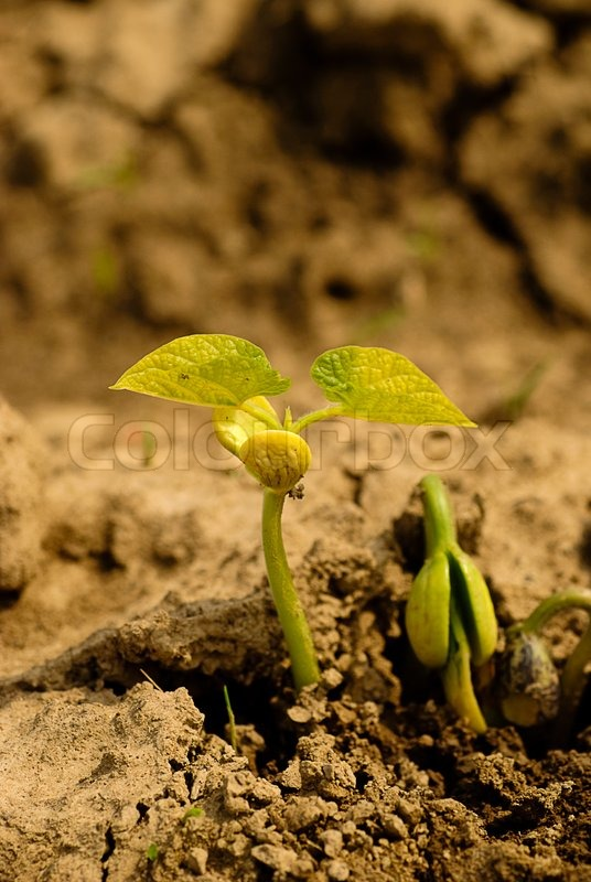 New life of haricot on dry soil. Shallow DOF, stock photo