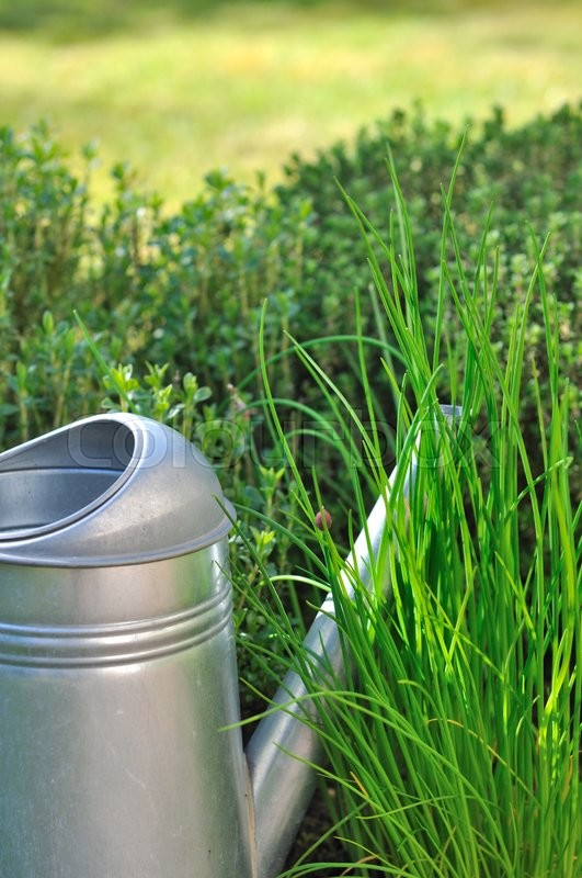 Stock image of 'watering can in aromatic herbs in garden '