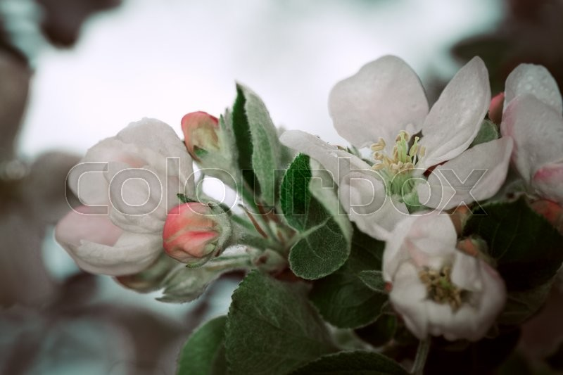 Stock image of 'blooming apple tree in the  background of the nature'