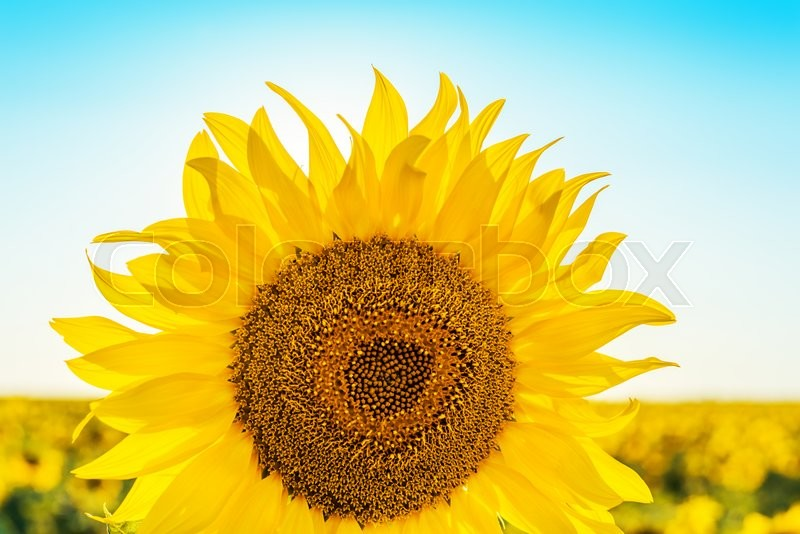 Stock image of 'Flower of sunflower closeup in field'