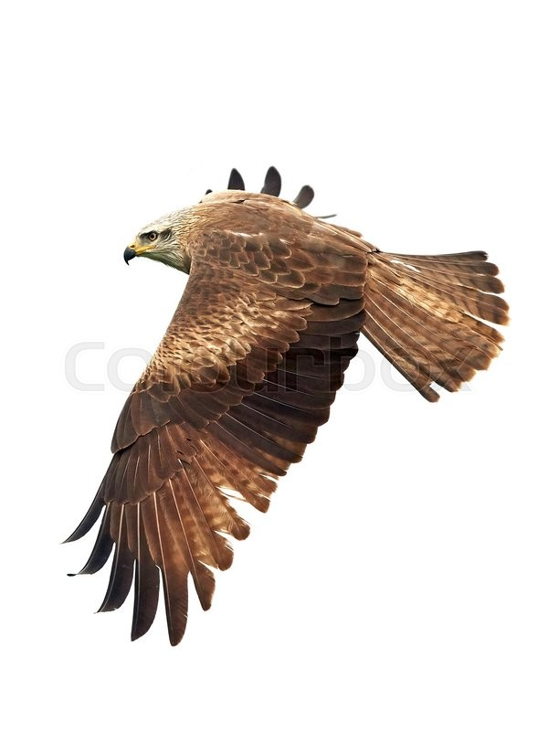 Stock foto af 'Black kite (Milvus migrans)'