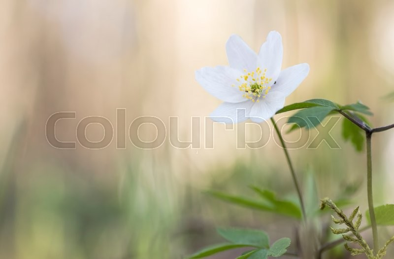 Stock image of 'Single wood anemone'