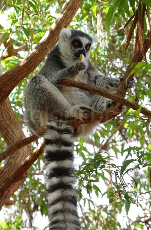 Stock image of 'Ring-tailed lemur eating the fruit on the tree at Monkey park, Tenerife, Canary island'