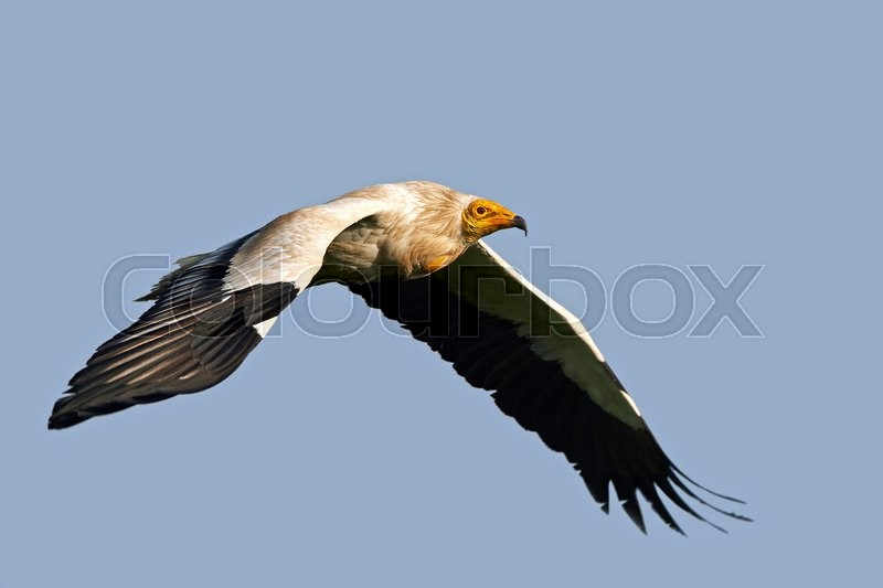 Stock image of 'Egyptian vulture in flight with blue skies in the background'