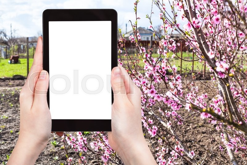 Stock image of 'season concept - farmer photographs country garden with flowering peach tree on tablet pc with cut out screen with blank place for advertising'