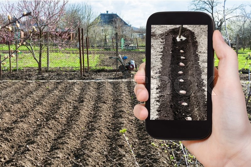 Stock image of 'gardening concept - farmer photographs the planting of potatoes in furrow in vegetable garden in spring season on smartphone'