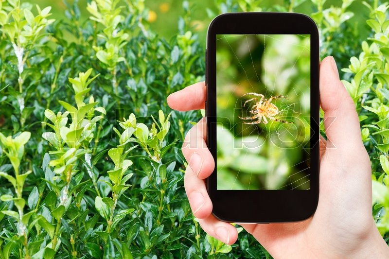 Stock image of 'gardening concept - farmer photographs spider on spiderweb between boxtree leaves on smartphone'