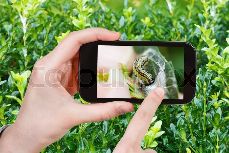Stock image of 'gardening concept - farmer photographs larva of insect pest (Cydalima perspectalis , the box tree moth) on boxtree leaves in garden on smartphone'