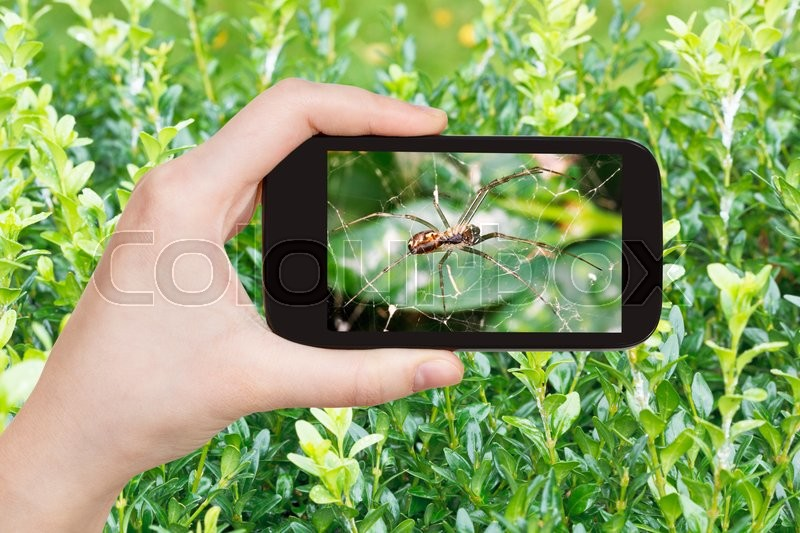 Stock image of 'gardening concept - farmer photographs spider on cobweb between boxwood leaves on smartphone'