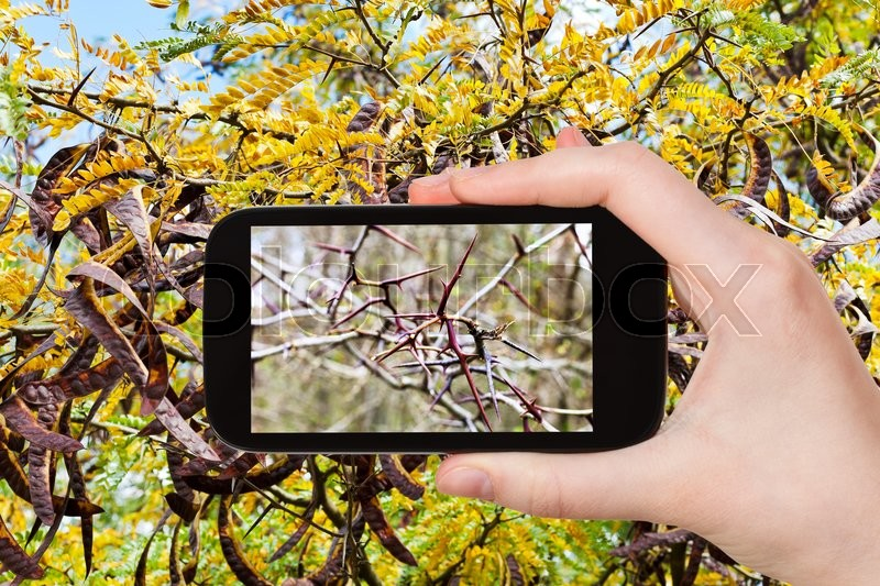 Stock image of 'season concept - tourist photographs spikes on twigs of acacia tree on smartphone'