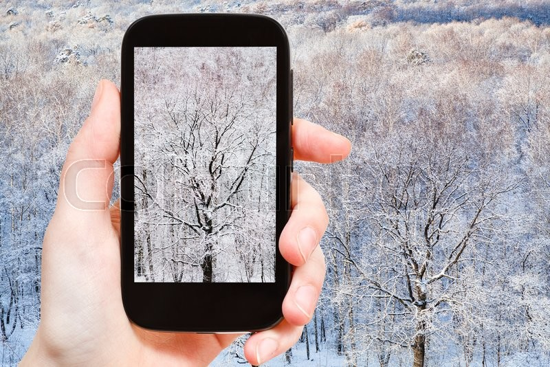 Stock image of 'season concept - tourist photographs bare oak tree in frozen forest in winter day on smartphone'