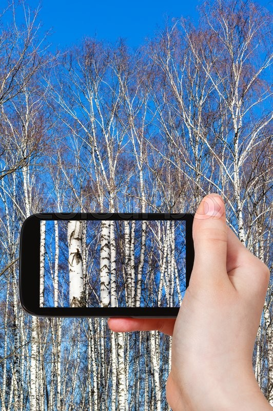 Stock image of 'season concept - tourist photographs birch tree trunks in sunny spring day on smartphone'