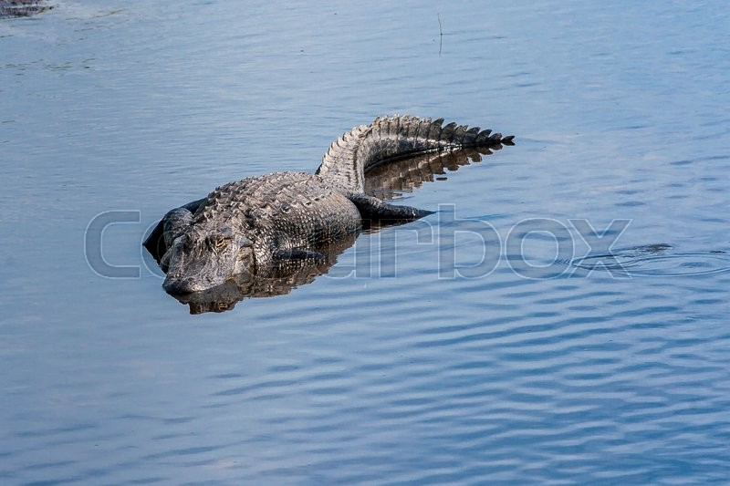Stock image of 'Large alligator submerged in river at Florida Myakka River State Park.'
