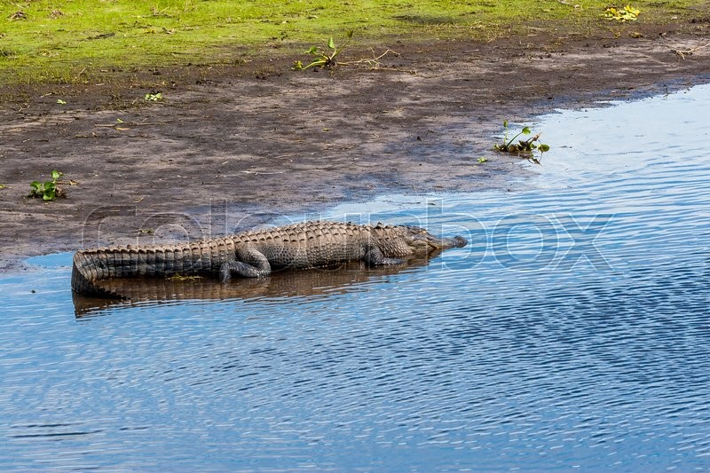 Stock image of 'Large alligator resting on river bank at Florida Myakka River State Park.'