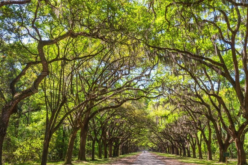 Stock image of 'Long road lined with ancient live oak trees draped in spanish moss at historic Wormsloe Plantation in Savannah, Georgia, USA'