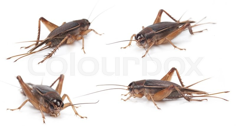 Stock image of 'Set of Gryllidae isolated on a white background'