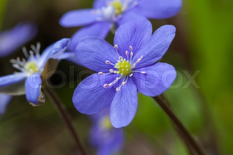 Stock image of 'spring flowers Hepatica Nobilis macro close up'