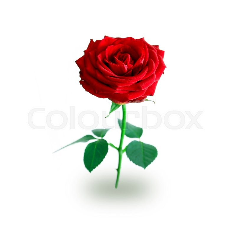 Stock image of 'Rose isolated on white'