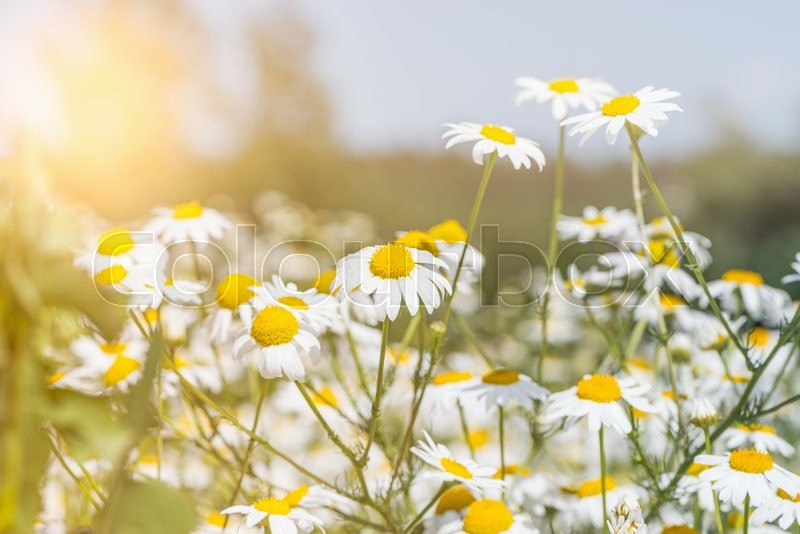 Stock image of 'Beautiful white daisy flowers on the meadow at sunset.'