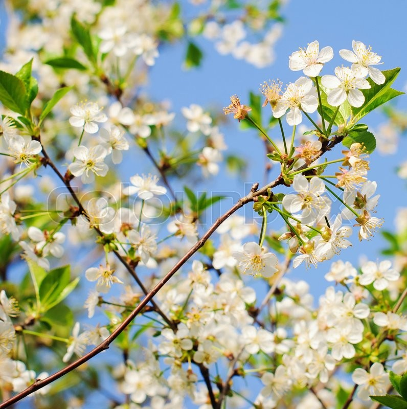 Stock image of 'Spring Cherry blossoms, white flowers in park'