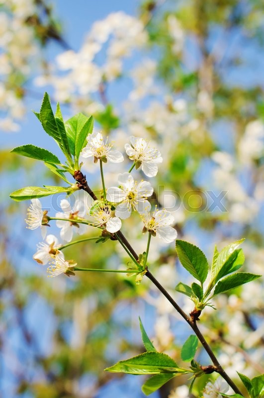 Stock image of 'Spring Cherry blossoms, white flowers in spring'