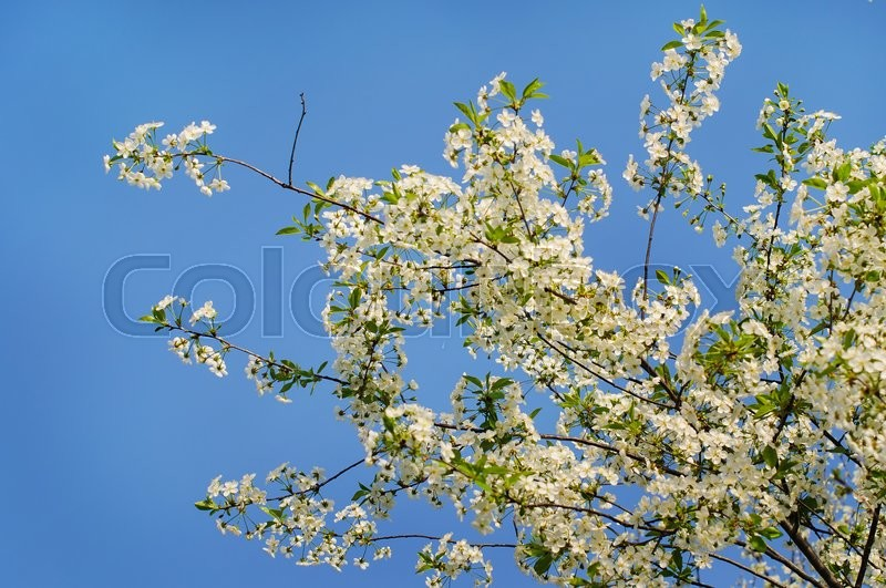 Stock image of 'Cherry blossoms, white flowers in sunny day'
