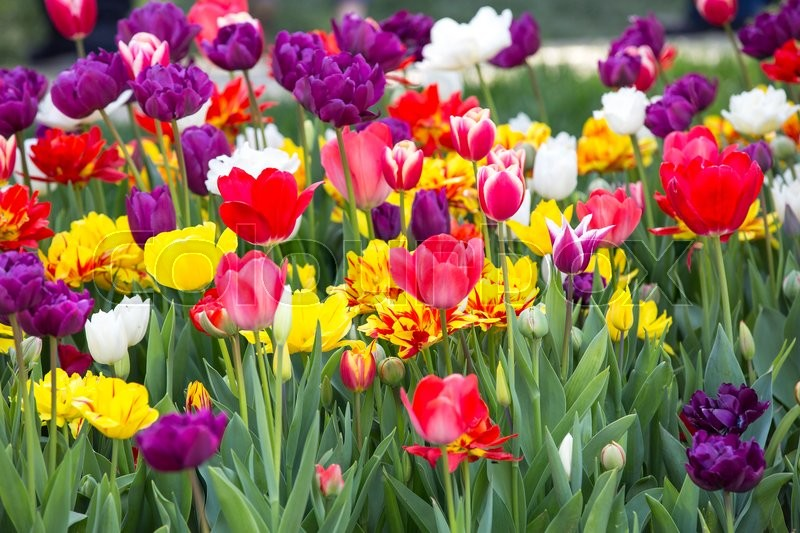 Stock image of 'Bed of tulips growing in spring garden tulips'